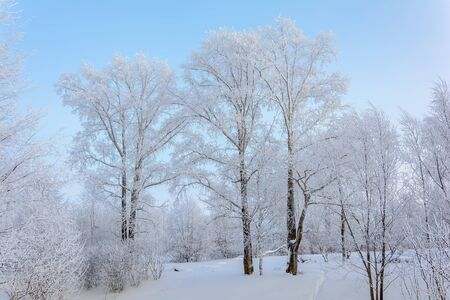 Single snow-covered trees standing in a winter field