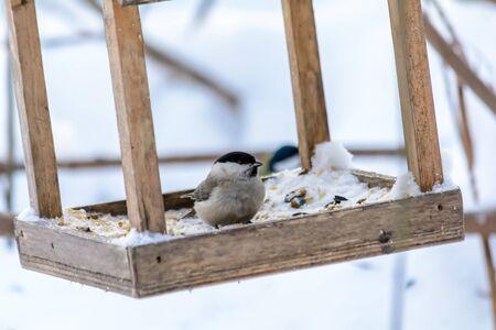 Carbonero alimentándose de semillas y mijo en el alimentador en el frío invierno Foto de archivo