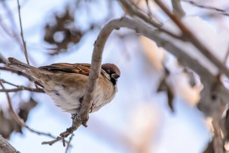 A sparrow sits on a branch of a bush in cold winter Stock fotó