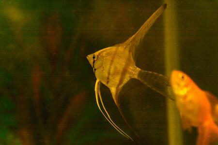 A small scalar swims in a small aquarium