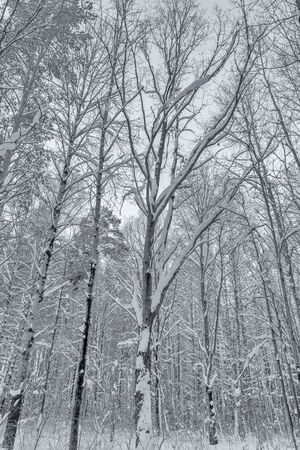 Trees in the forest, covered with cold white snow