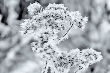 Dried plant in snow in winter