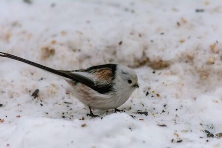 Tailed tit pecking seeds in the snow around the feeders
