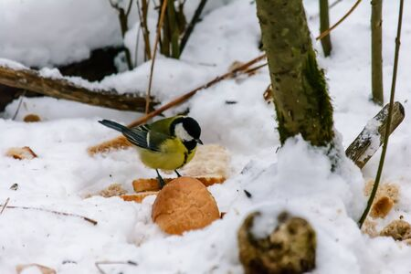 Titmouse eats bread crumbs in the snow