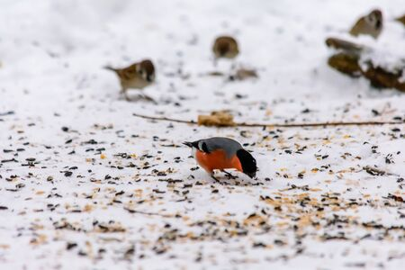 Bullfinch pecking seeds in the snow around the feeders Stockfoto