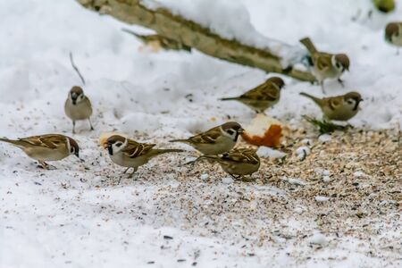 Sparrow pecking seeds in the snow around the feeders