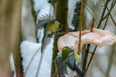 Titmouse pecks fat at feeders in cold winter