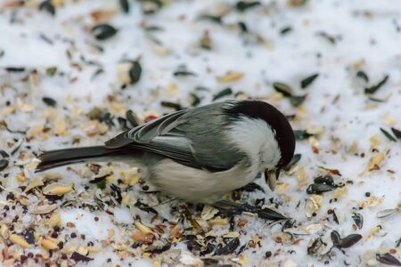 Chickadee pecking seeds in the snow around the feeders