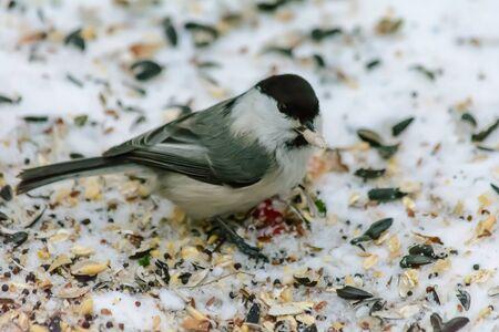 Chickadee pecking seeds in the snow around the feeders Foto de archivo