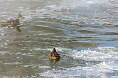 Wild ducks swim in the cold water of an unfrozen river