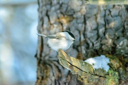 A chickadee sits on a tree branch in cold winter