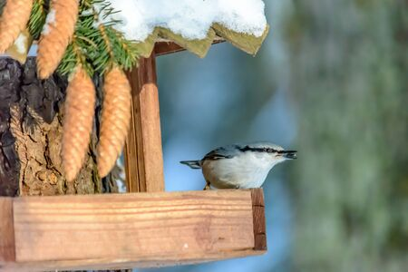 Nuthatch pecks grain from the feeder in cold winter Archivio Fotografico