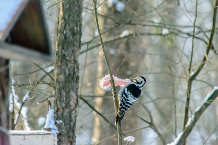 Woodpecker pecks fat at feeders in cold winter