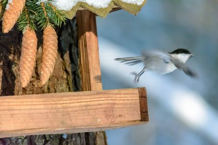 Chickadee flies away from the feeder in the cold winter Archivio Fotografico