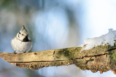 A bird Grenadier sits on a tree branch in cold winter