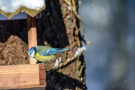 A blue tit pecks grain from the feeder in cold winter
