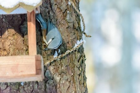 A nuthatch sits on a feeder in cold winter