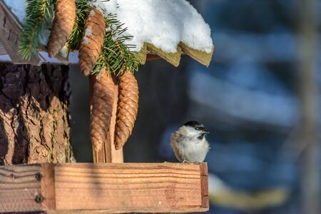 A chickadee sits on a feeder in cold winter