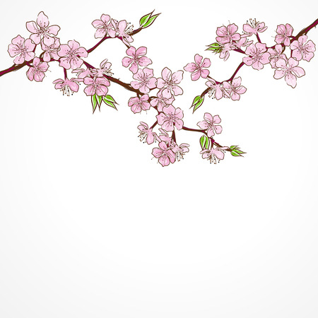 cherry branch: Watercolor cherry branch with flowers isolated on white background.Vector illustration