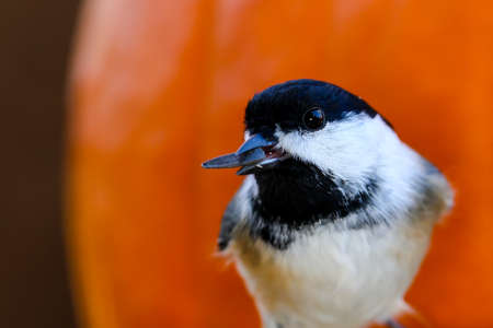 Close up of a Black-capped Chickadee with a sunflower seed in its mouth in front of a pumpkin. Stock Photo