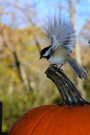 chickadee: A Chickadee landing on a pumpkin in October. Stock Photo