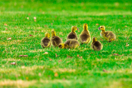 canadian geese: Baby Canadian geese talking and eating in a green field.