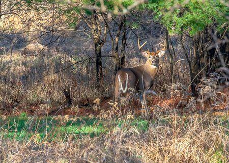 wisconsin: Ten point buck standing alert in Wisconsin.