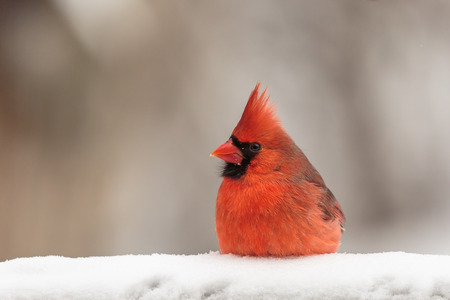 snow cardinal: Red male Cardinal in snow on a cold day in Wisconsin. Stock Photo