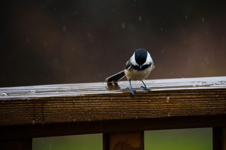 Chickadee pearched on a deck rail in the rain.