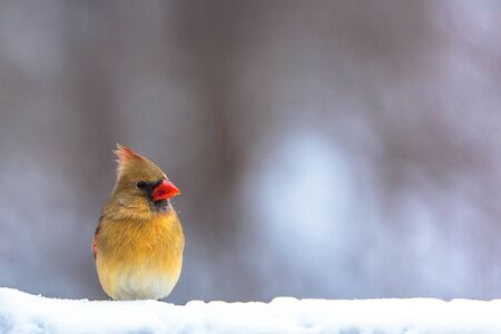 Female Cardinal perched in the Wisconsin Snow Stock Photo