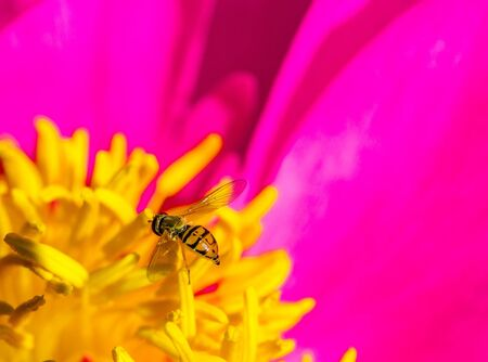 Hover fly on a peony flower in summertime