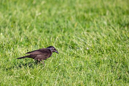 Common Grackle (Quiscalus quiscula) searching for food in the grass during the spring, horizontal
