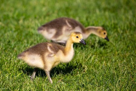 Canada goose (Branta canadensis) gosling walking in grass looking for food during the springtime, horizontal
