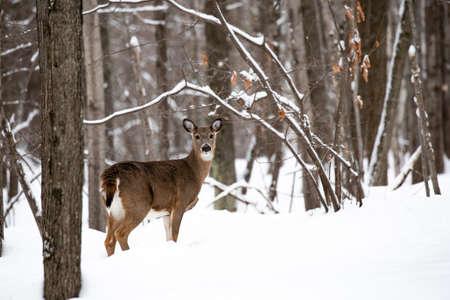 Female white tail deer in Wausau, Wisconsin in mid December