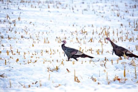 Two wild turkeys walking in a snowy corn field in Wisconsin Stock Photo