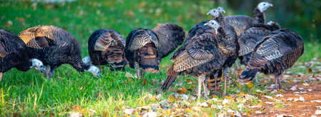 Wild turkeys (Meleagris gallopavo) feeding in early autumn Stock Photo