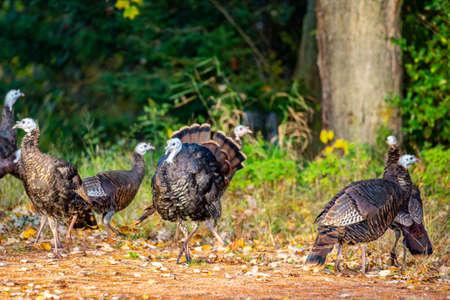 Wisconsin wild turkeys (Meleagris gallopavo) in early autumn Stock Photo