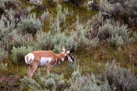 Pronghorn (Antilocapra americana) standing by sage brush in Yellowstone park