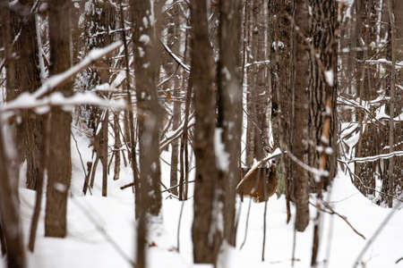 Small whitetail buck deer camouflaged by the trees in a Wisconsin forest Standard-Bild