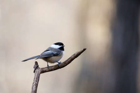 Black-capped chickadee (poecile atricapillus) perched on a branch in November