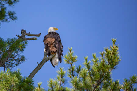 Bald Eagle (Haliaeetus leucocephalus) perching on a pine branch looking for fish on the Rainbow Flowage in Northern Wisconsin, horizontal