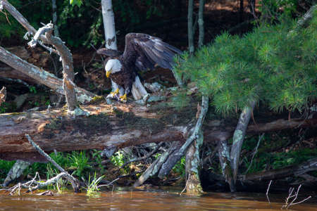 Bald Eagle (Haliaeetus leucocephalus) perching on a fallen tree with a fish in its talons on the Rainbow Flowage in Northern Wisconsin, horizontal Stock Photo