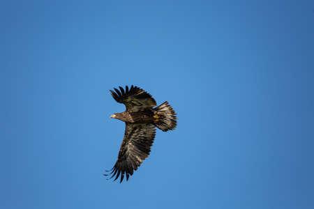 Immature Bald Eagle (Haliaeetus leucocephalus) flying in a blue sky in Northern Wisconsin, horizontal Reklamní fotografie
