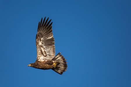 Immature Bald Eagle (Haliaeetus leucocephalus) flying in a blue sky in Northern Wisconsin, horizontal