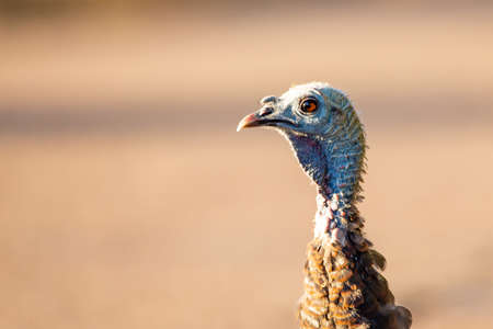 Close-up of an eye of a female wild turkey (Meleagris gallopavo) in Wisconsin, horizontal