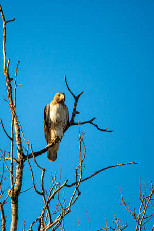 Red-tailed Hawk (Buteo jamaicensis) perched in a tree with a blue sky, vertical