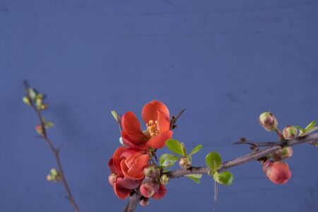 arrangement, beautiful flowers blossomed on a branch on a blue background Standard-Bild