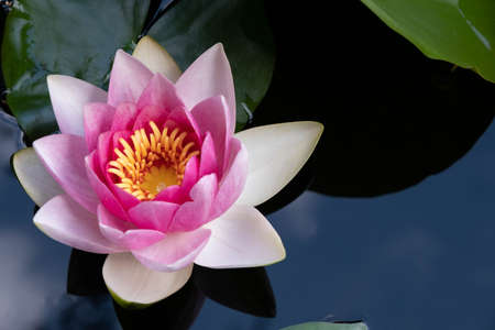 beautiful gentle pink open water lily on the surface of the water in the pond Archivio Fotografico
