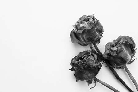 black and white photo, dry and old roses lie on a white background, top view