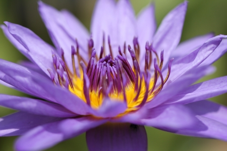 Purple lotus flower with close up pollens and its details photo